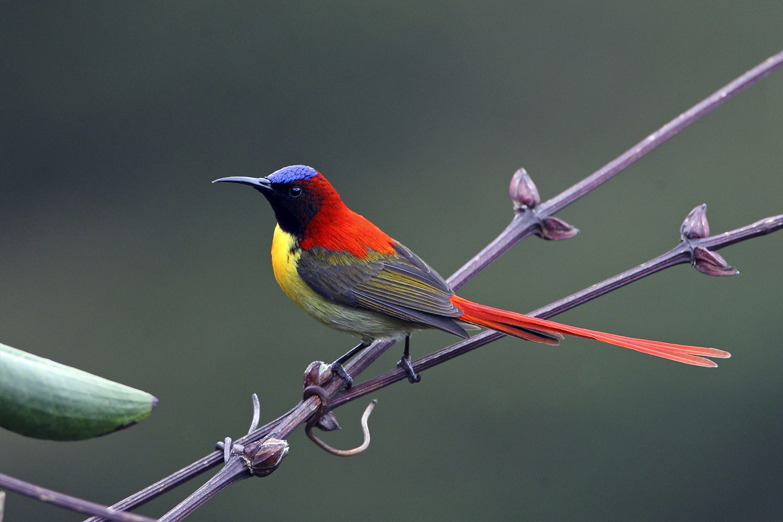 Fire-tailed Sunbird by Rohan Pandit