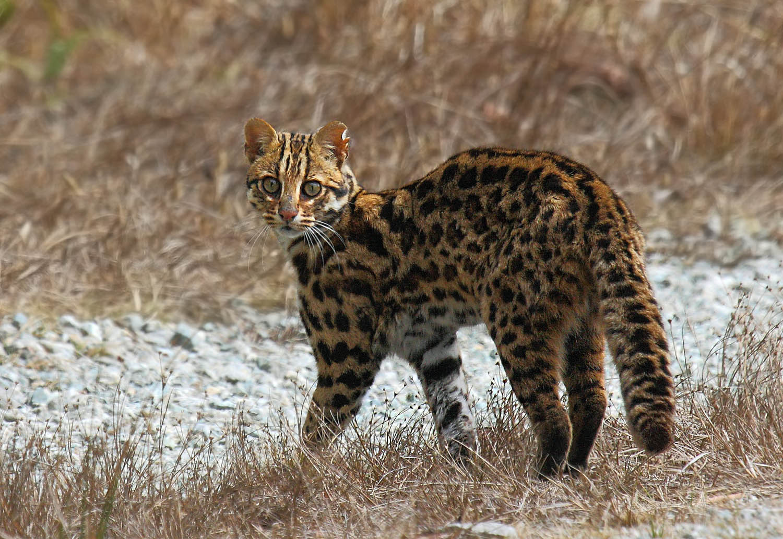 Leopard Cat by Rohan Pandit